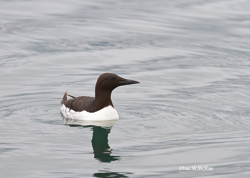Murre_Thick_billed_KBay_t_100625_151532_00001_copy.jpg