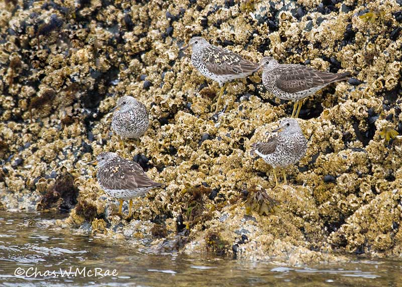 Surfbirds_KBay_CROP_02.jpg