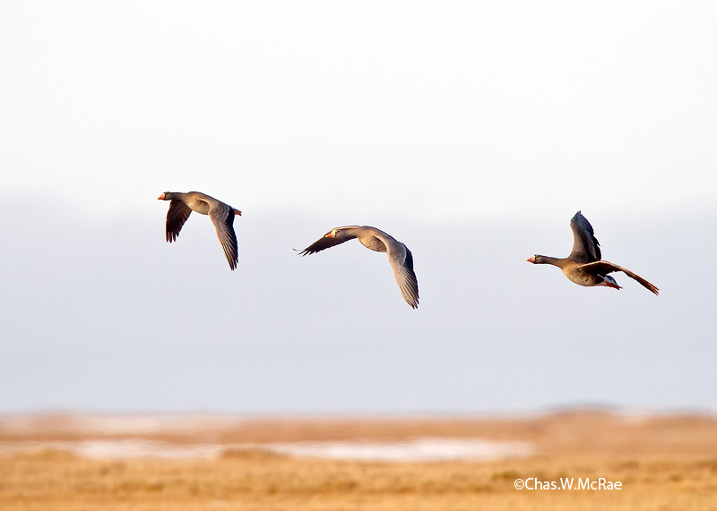 Goose_White_fronted_Flight_26514WR06.jpg