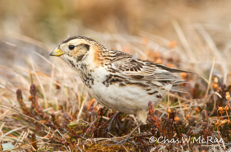 laplandlongspur_female_t_100617_162552_00001.jpg