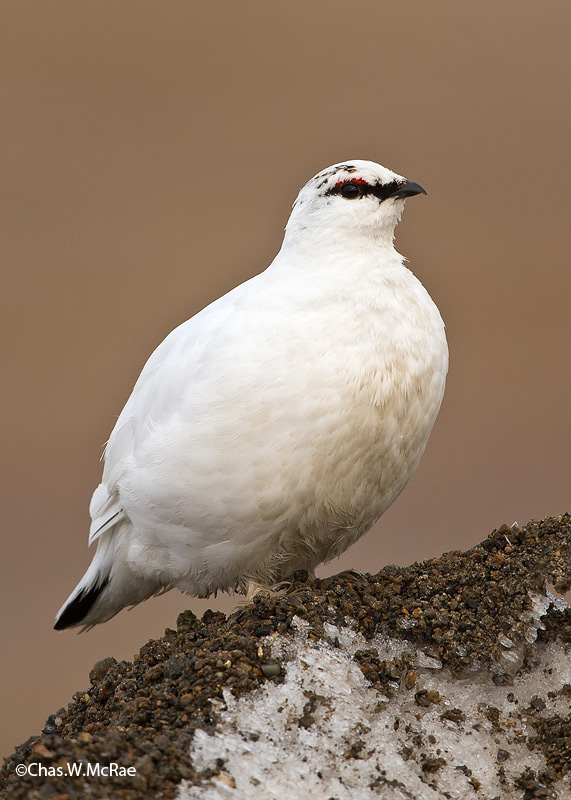 RockPtarmigan_Male_t_100613_123829_00001_copy.jpg