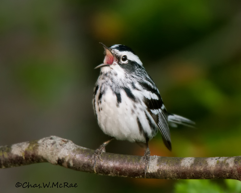 Black_WhiteWarbler_Ontario_Canada_00006_copy_copy.jpg