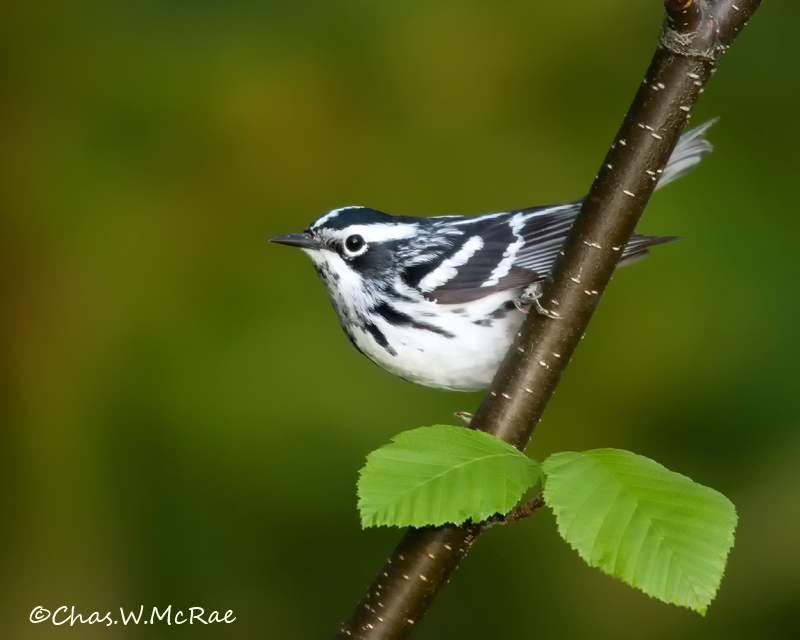 Black_WhiteWarbler_Ontario_Canada_00004_copy.jpg