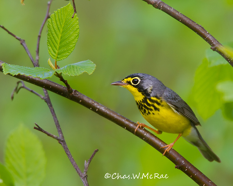 CanadaWarbler2_UP_Mi_00003.jpg