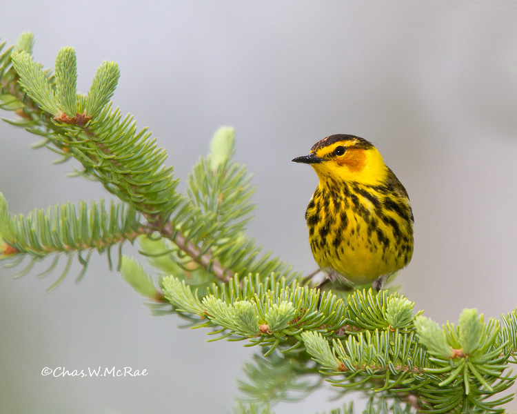 CapeMayWarbler2_UP_Mi_00019.jpg