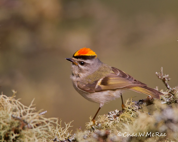 Golden_crownedKinglet_UP_Mi_00156.jpg