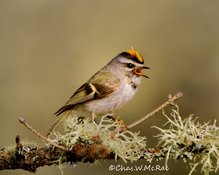 Golden_crownedKinglet2_UP_Mi_00143.jpg