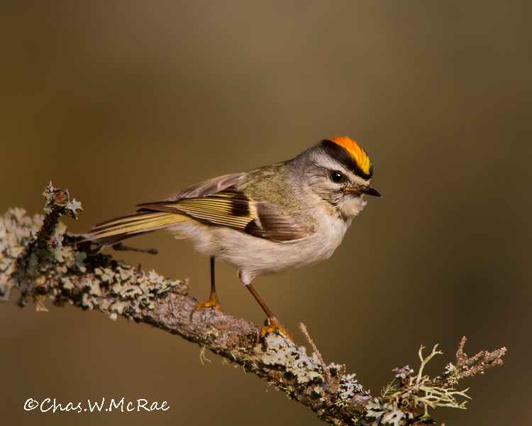 Golden_crownedKinglet4_UP_Mi_00184.jpg
