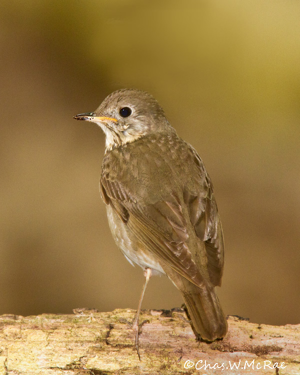 Gray_cheekedThrush2_00005.jpg