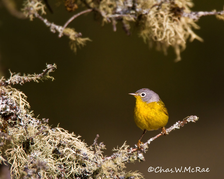 nashvillewarbler_up_mi_00002.jpg