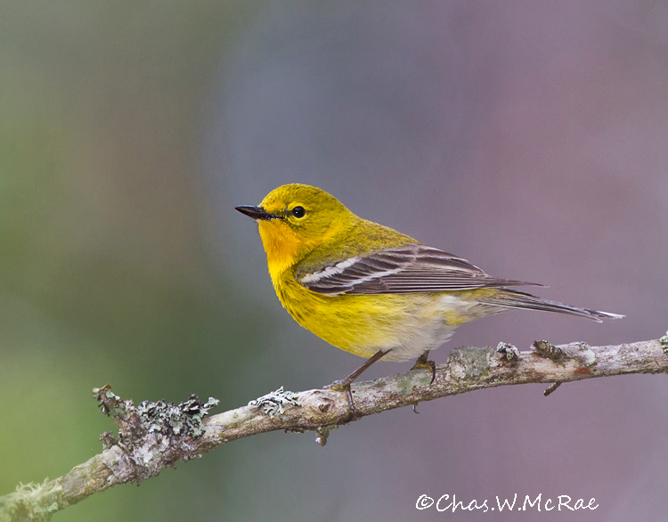 PineWarbler_UP_Mi_00007.jpg