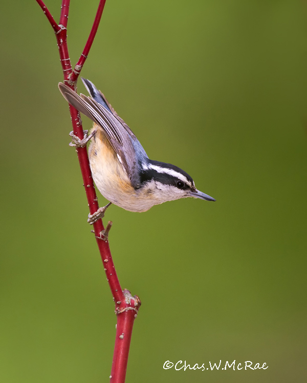 Red_breastedNuthatch2_NE_Mi_00006.jpg