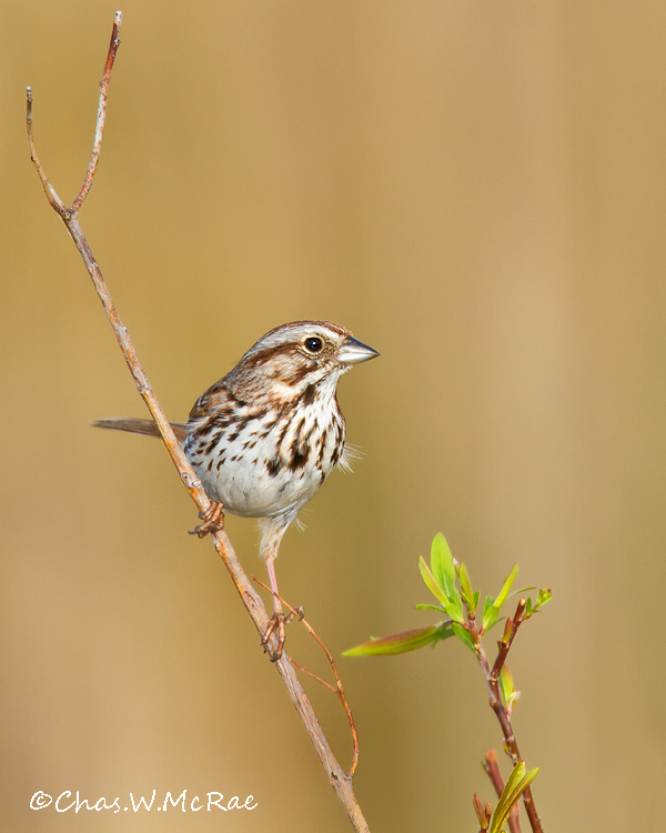 SongSparrow_OregonOhio_00005.jpg