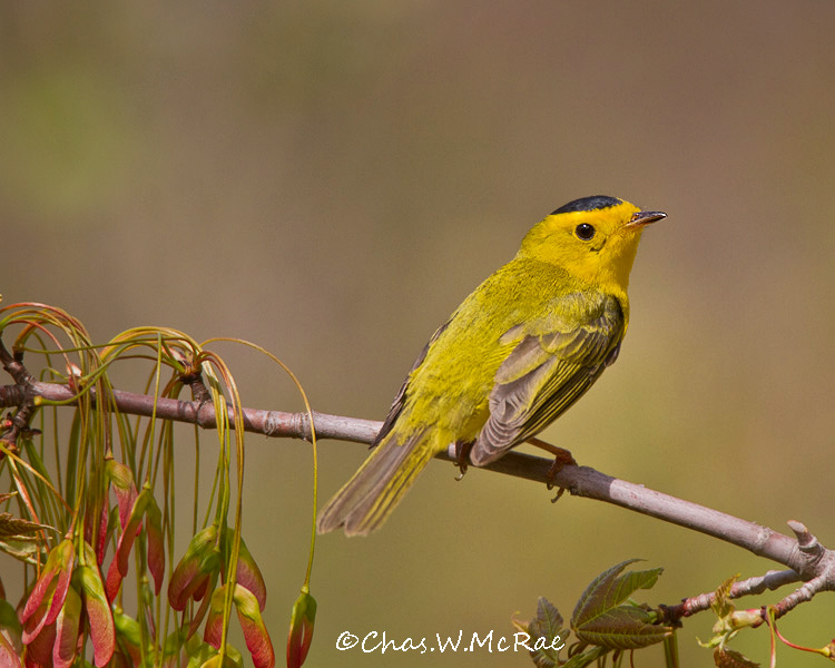 wilsonswarbler_up_mi_00040.jpg