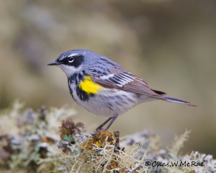 YellowrumpedWarbler_UP_Mi_00014.jpg