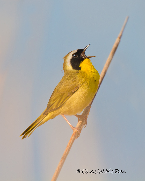 Yellowthroa2t_Magee_Ohio_00029.jpg