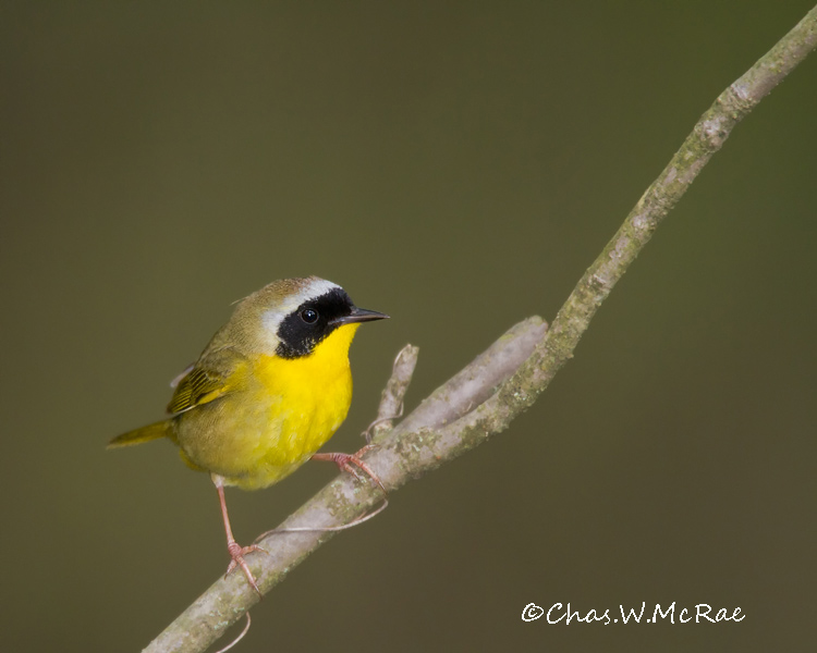 Yellowthroat_Zaleski_Ohio_00011.jpg