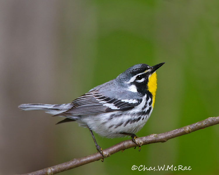 YellowthroatedWarbler3_Zaleski_Ohio_00011.jpg