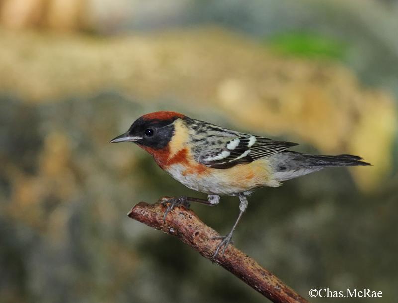 Bay_breasted_Warbler_23724WR06.jpg