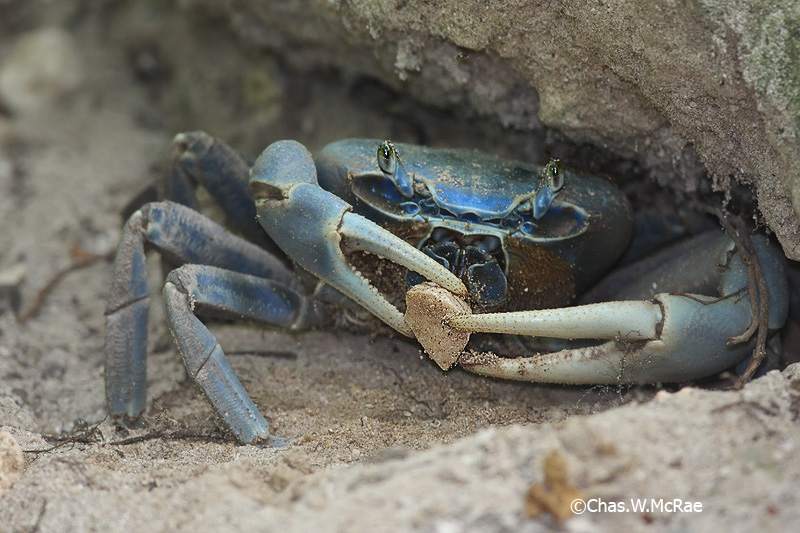 Blue_Land_Crab.jpg
