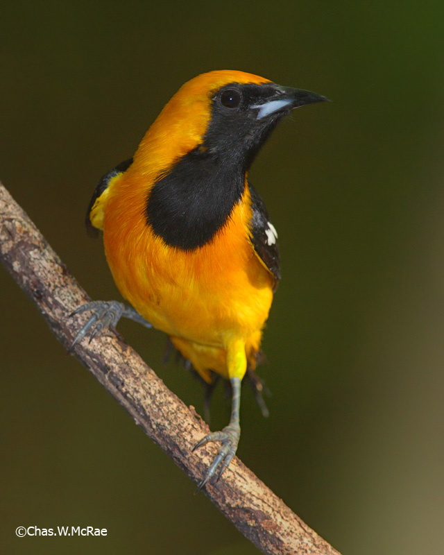 Oriole_Hooded_Yucatansp_igneus.jpg
