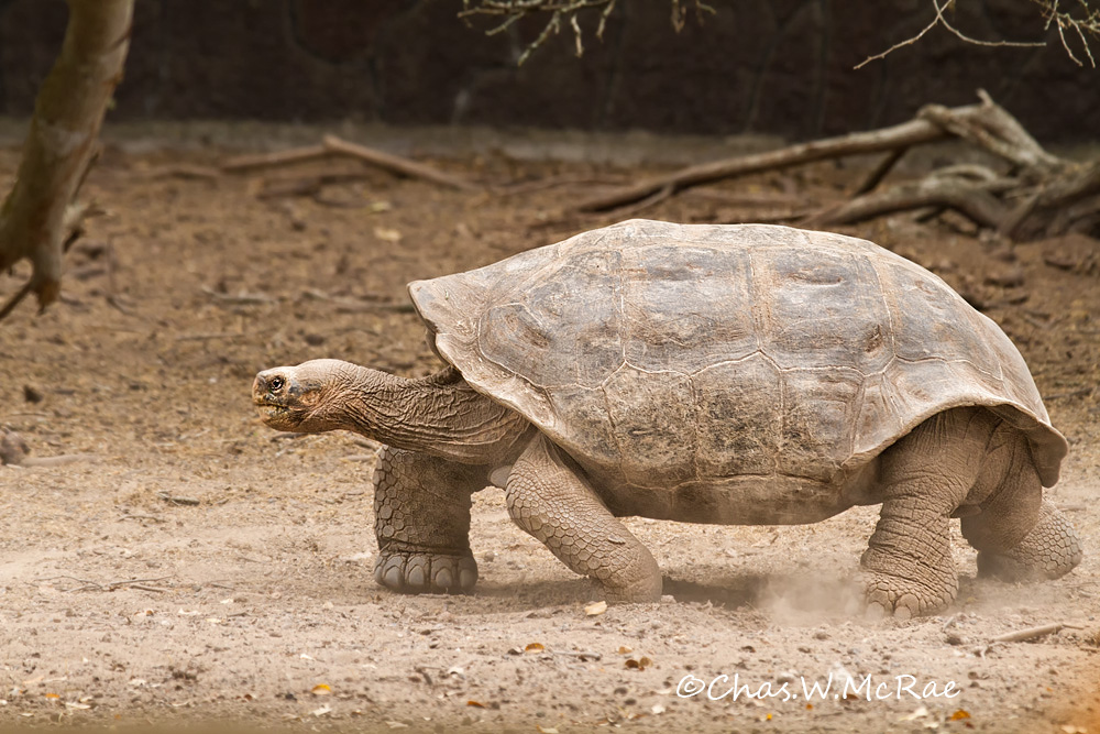 Galapagos Tortoise moving out.