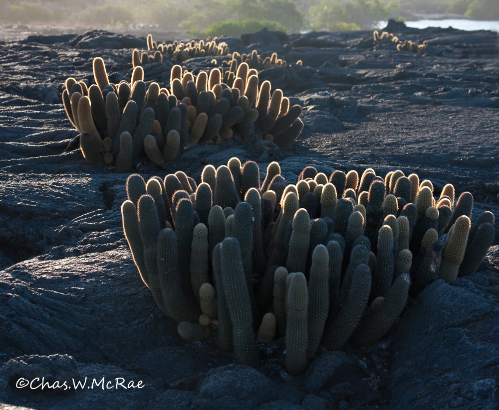 Lava Cactus backlit on old lava flow