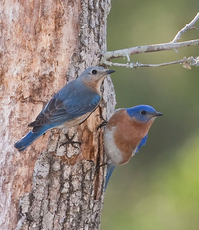 Bluebirds-at-Hole.jpg