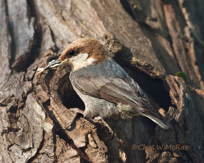Brown-headed_Nuthatch_NestHole.jpg