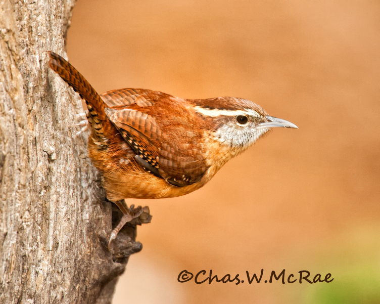 CarWren-Oct_ copy.jpg