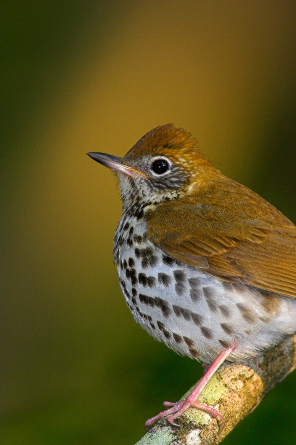 ChasMcRae.Cat6.WoodThrush.jpg