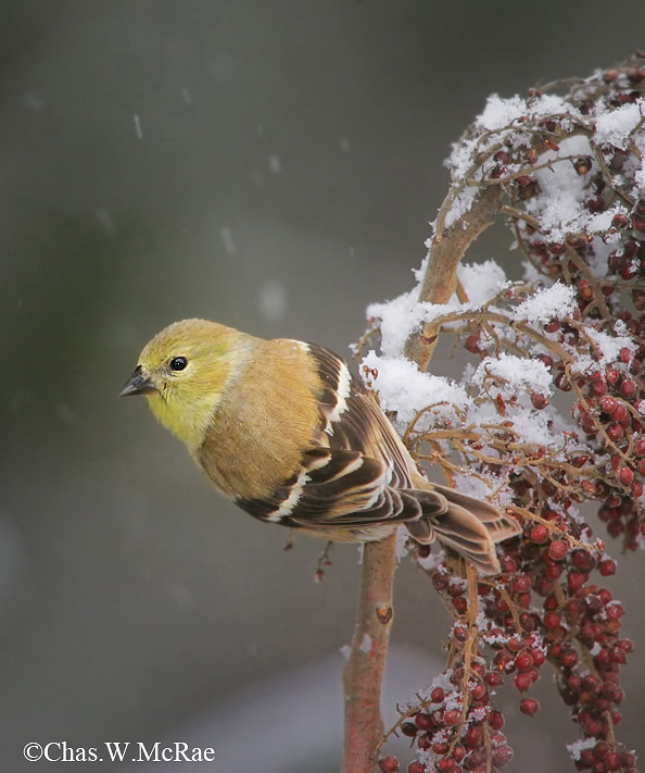 Goldfinch_Snow_SC_0001.jpg