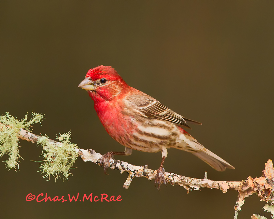 HouseFinch-copy_.jpg