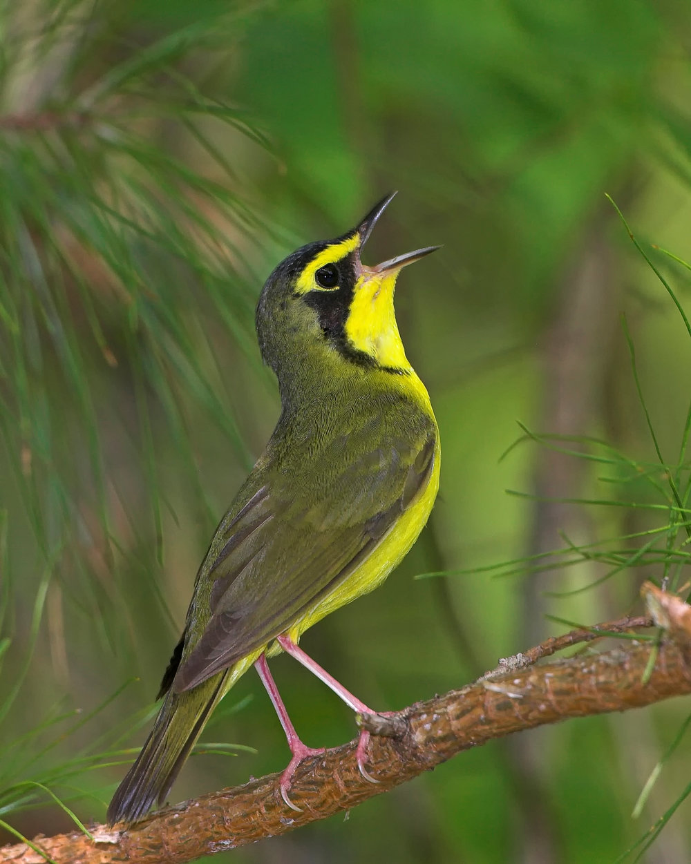 KentuckyWarbler(male)singing_06 (2).jpg