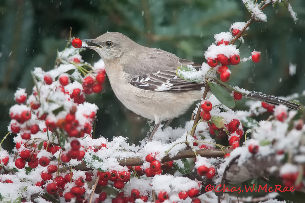 Mockingbird_snow_jan09.jpg