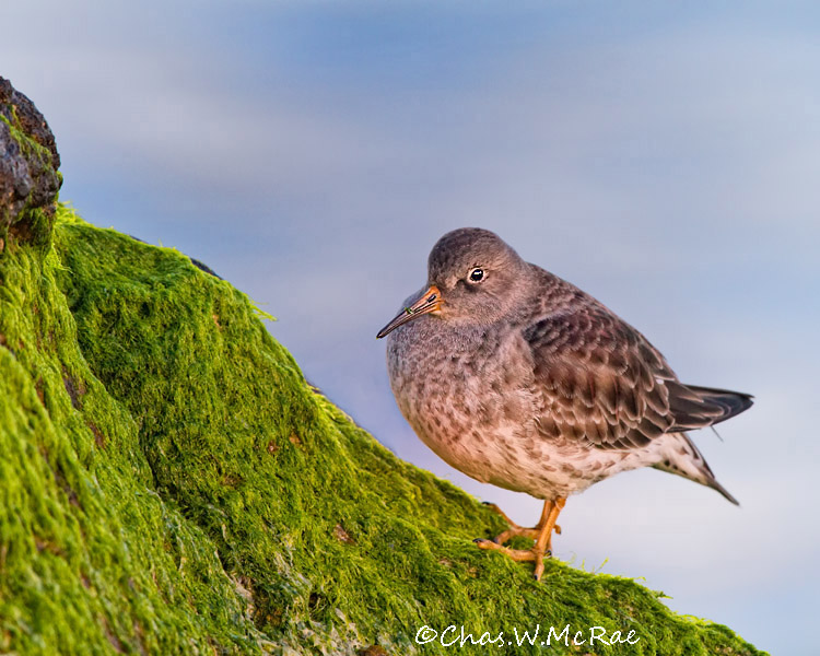 PurpleSandpiper3Eye_00002.jpg