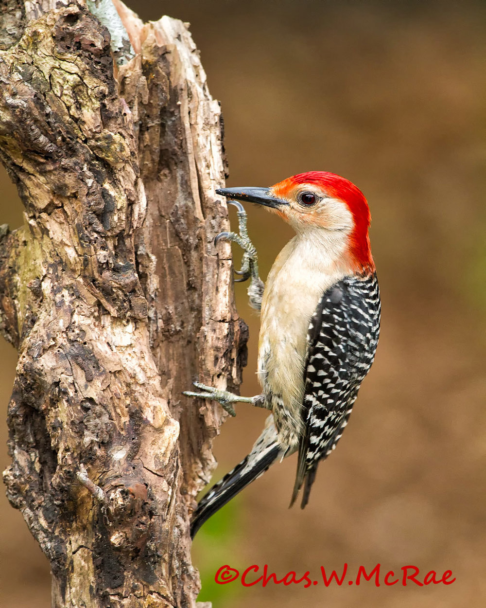 Red-bellied_Woodpecker_007.jpg