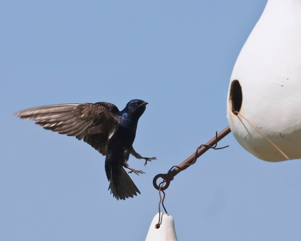 PurpleMartins-Male-feet300_.jpg