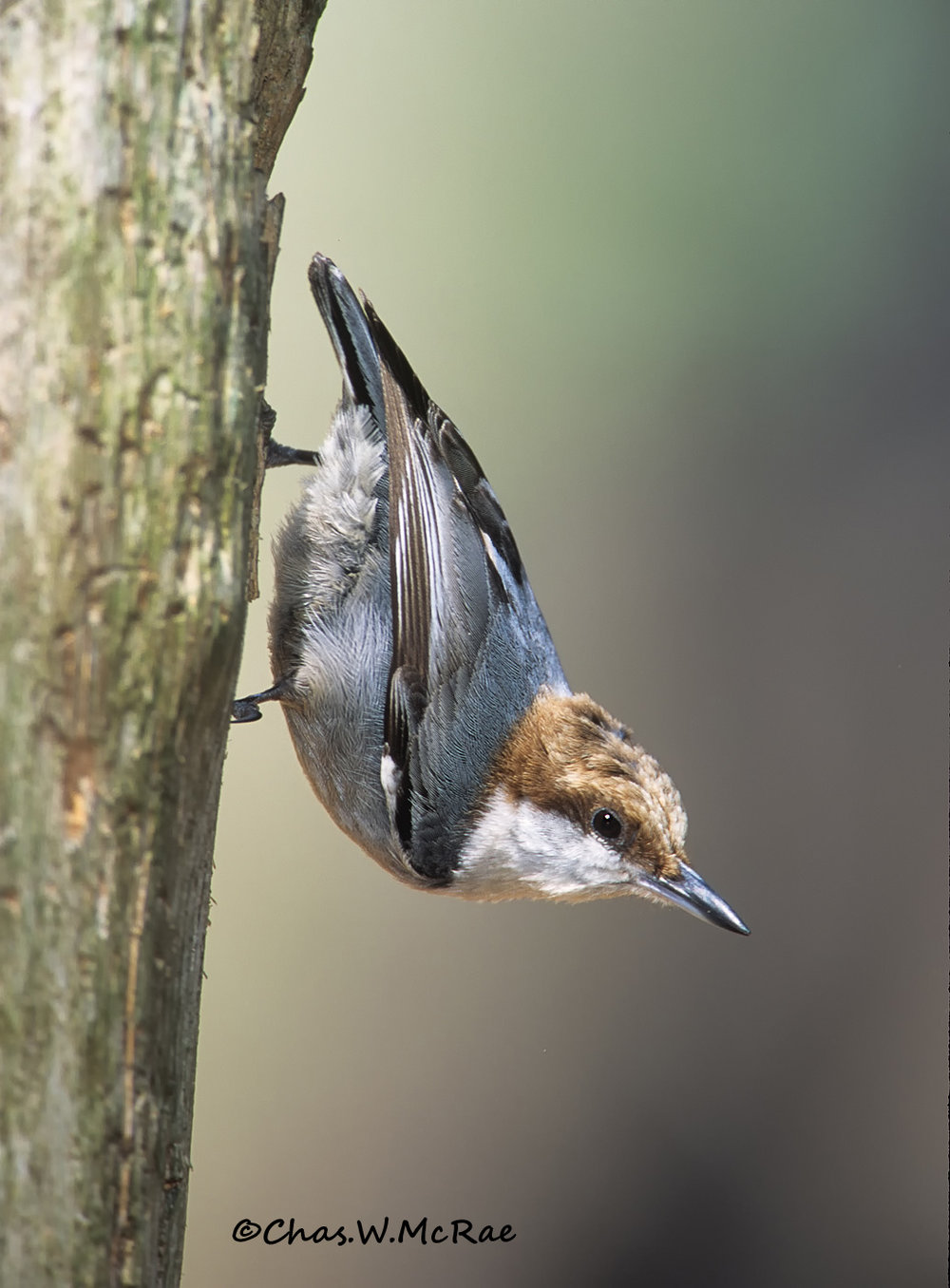 SC-BrownHdNuthatch_ 001.jpg