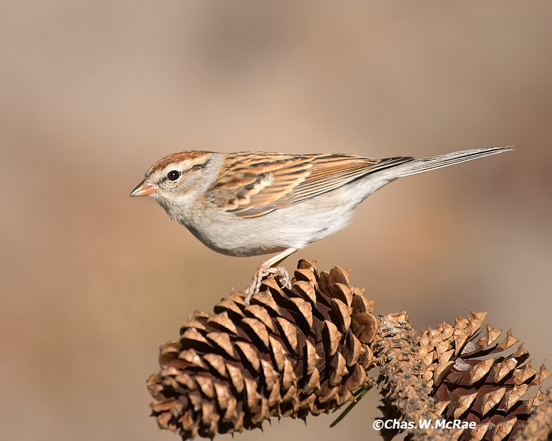 Sparrow-Chipping_0008.jpg