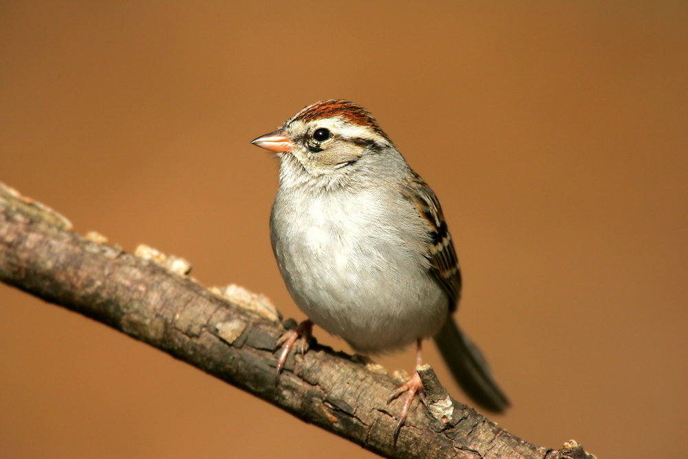 Sparrow_Chipping_IMG_0001.jpg