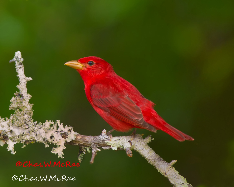 SummerTanager2_Apr2011_00003 (2).jpg
