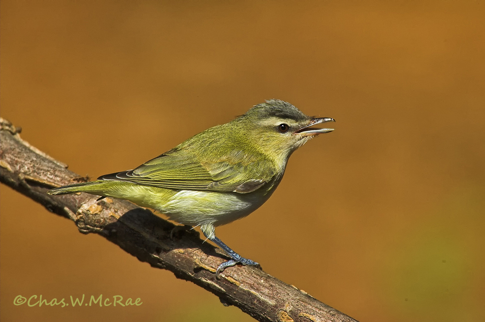 Vireo_Red-eyed_0003-01.jpg