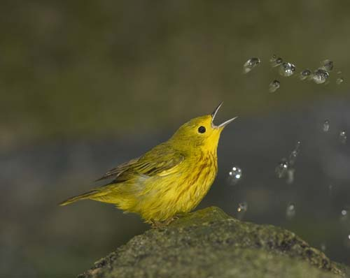 Yellow Warbler Hijack.jpg