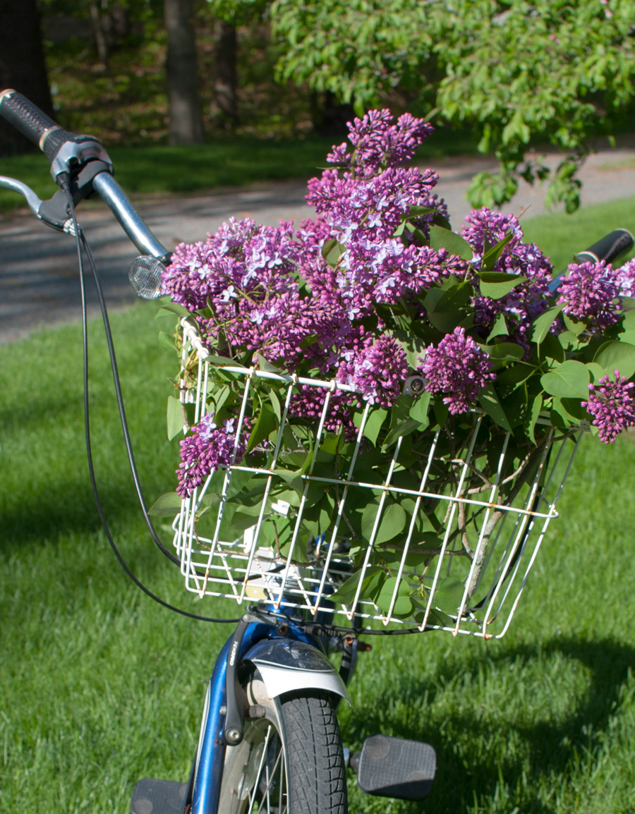 Lilacs, Summer Lilacs, Bike, Summer Bike Ride, Flower Images, Flower Inspiration, Beautiful, Blog Photos, Blogger with flowers, purple