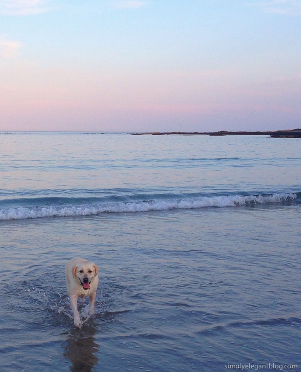 Yellow Lab, Dog Swimming, Puppy in Ocean, Ocean Sunsets, Maine Sunset