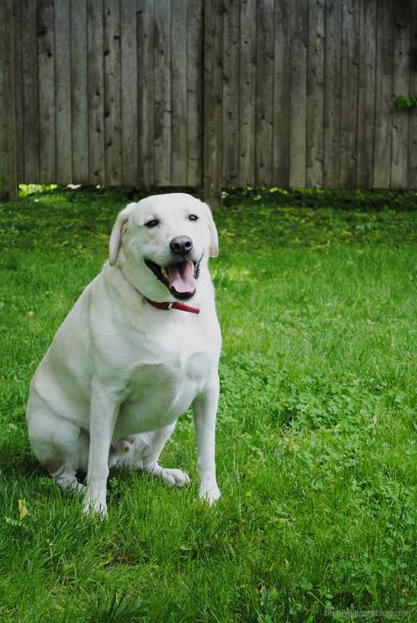 White Yellow Lab Dog Bloggers Dog Puppy, College Fashion Blog, Simply Elegant Blog Photography