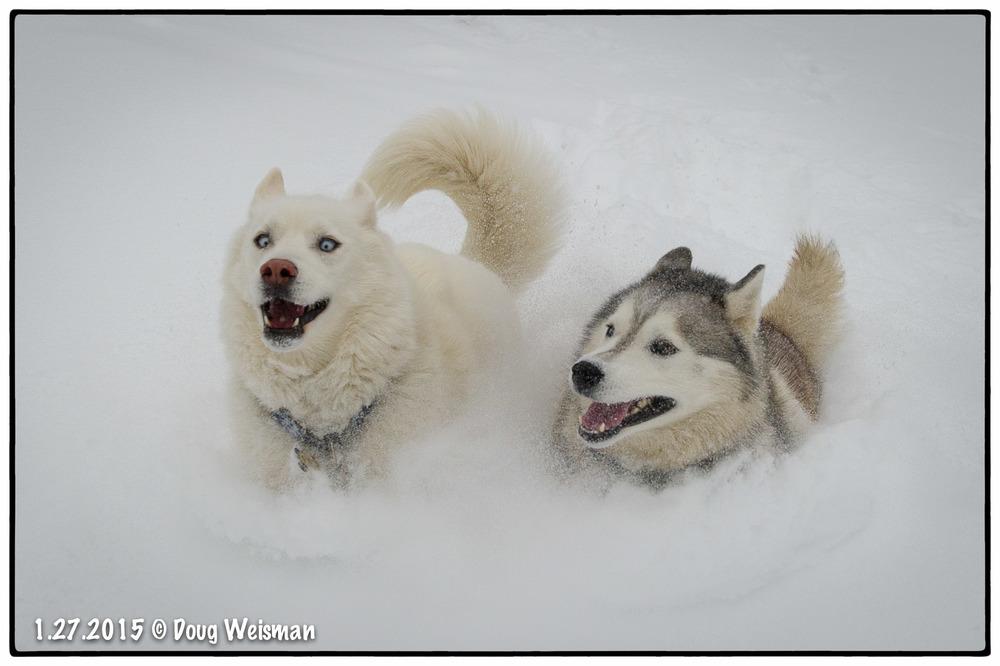 Snow dogs!