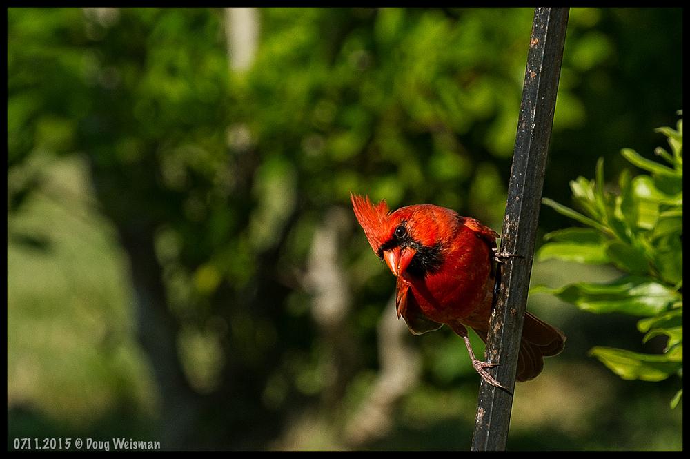 A curious cardinal.
