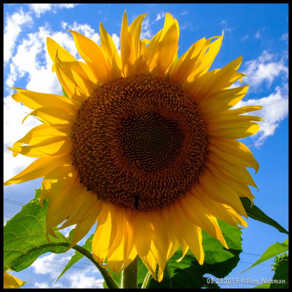 Sunflower in the sun.